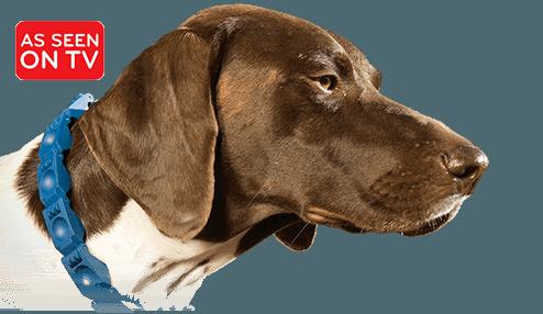 Dog wearing Command Collar®